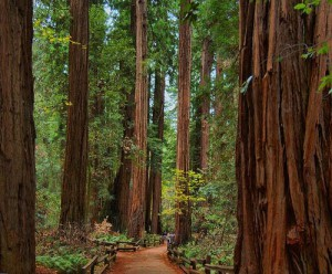 2008-04-redwood-trees